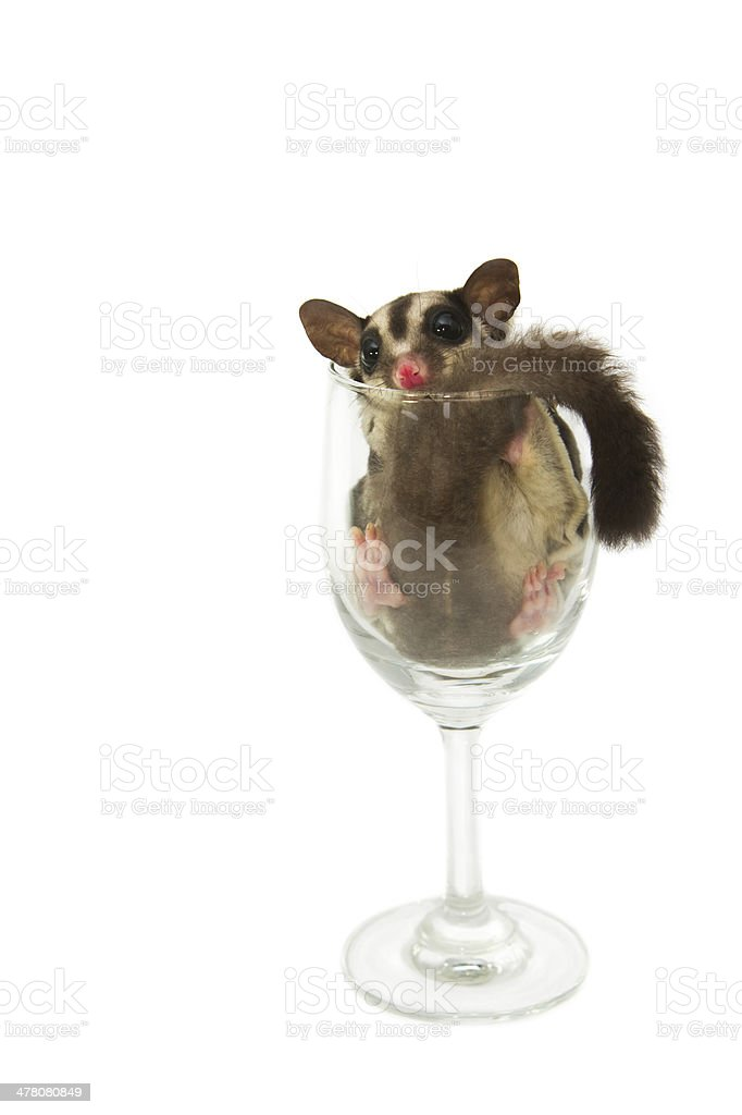 young sugar glider in  wine glass royalty-free stock photo