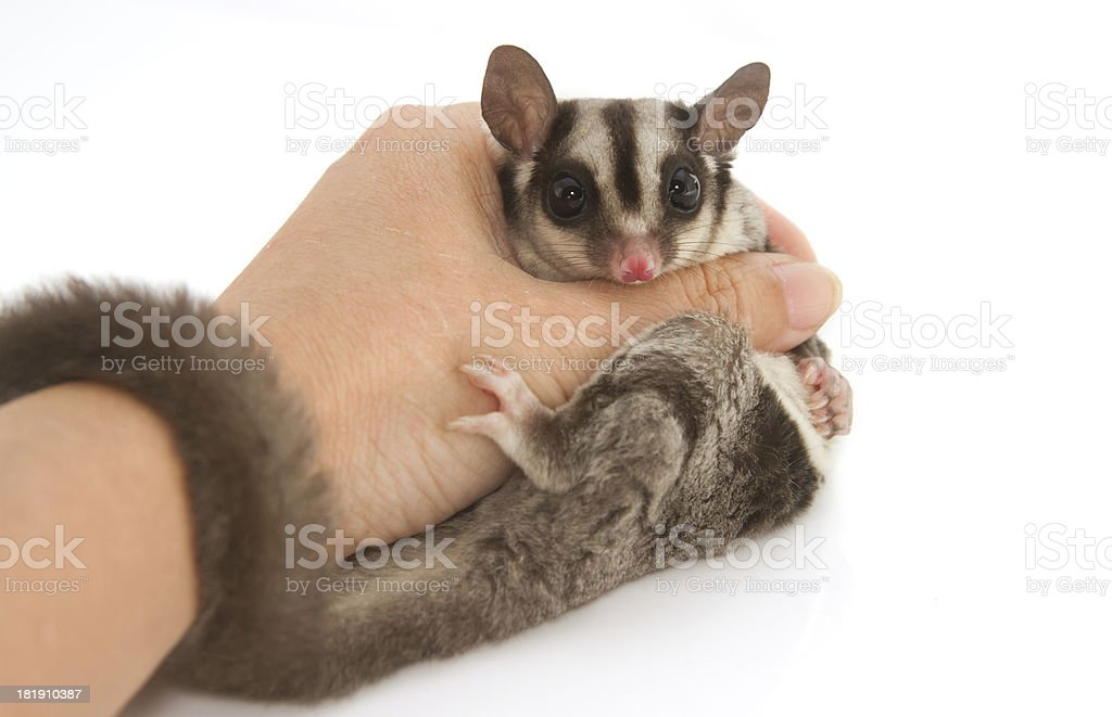 young sugarglider in hand stock photo