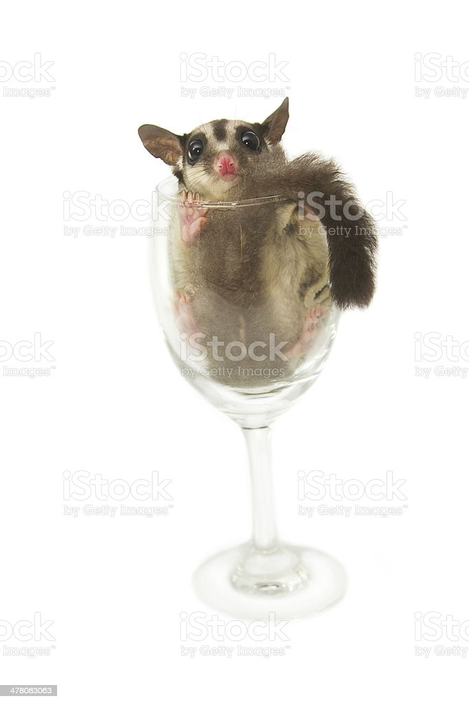 young sugarglider in the wine glass stock photo