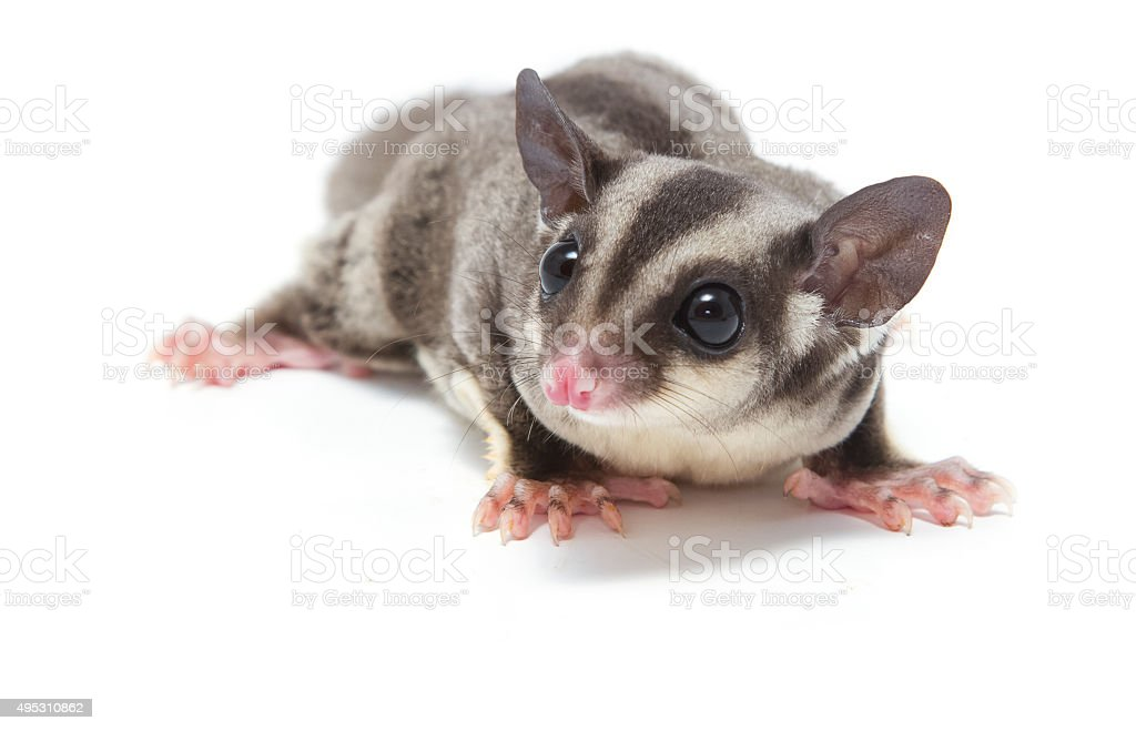 young sugarglider on white , lovely pet stock photo