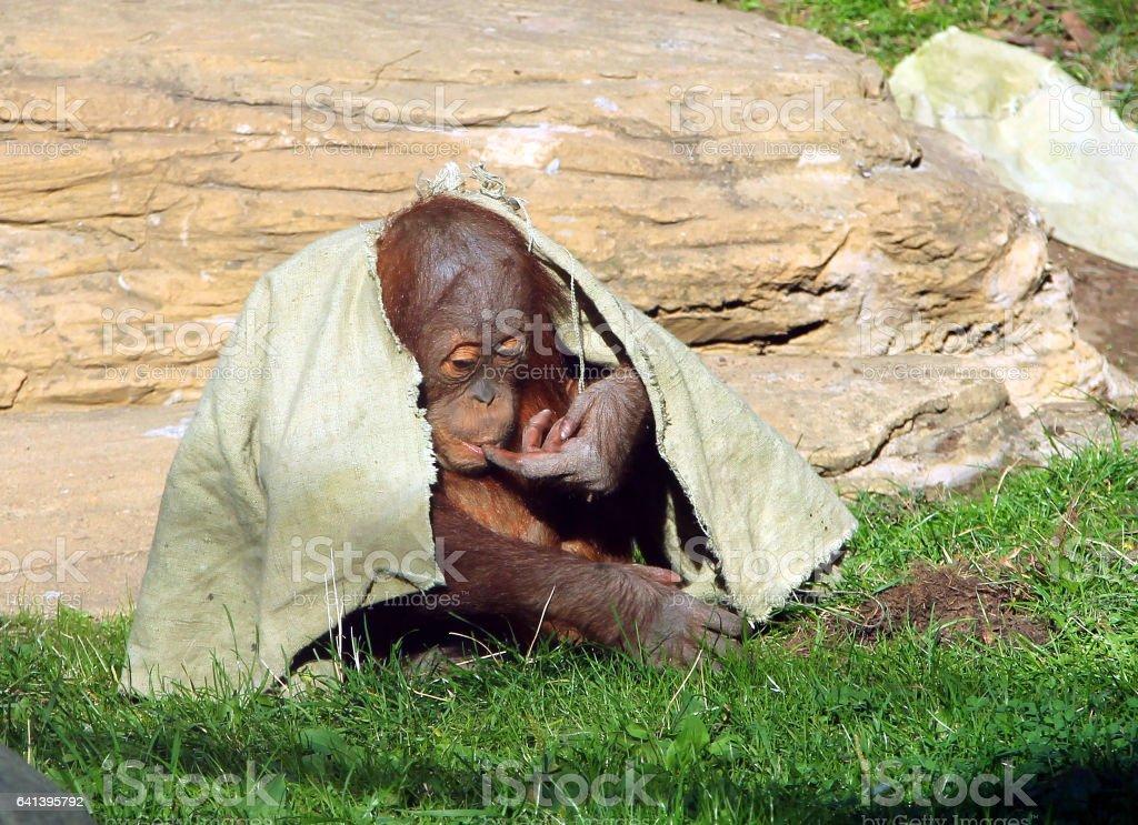 Young Sumatran orangutan (Pongo abelii) hiding under a cloth stock photo