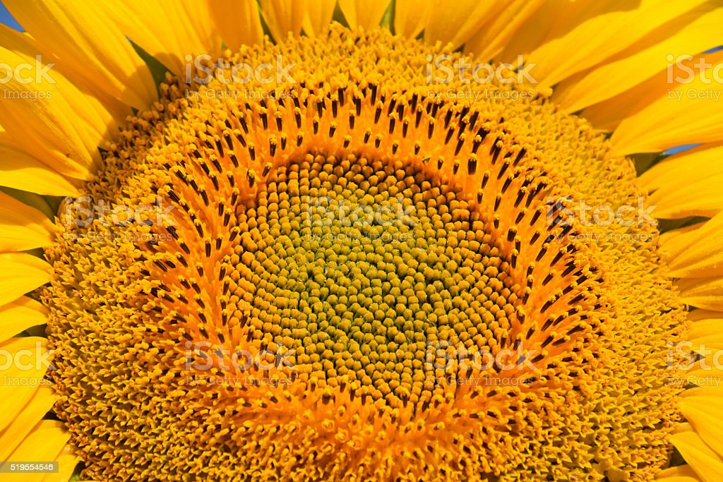 Young sunflower close up royalty-free stock photo