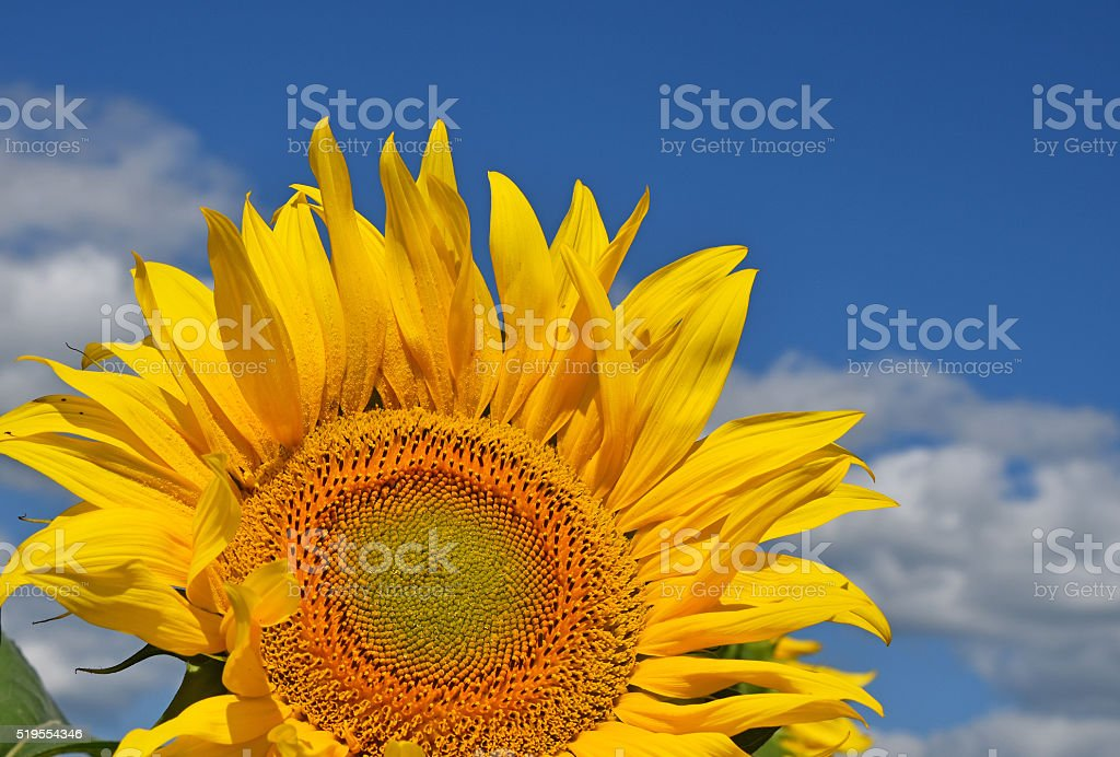 Young sunflower over blue sky royalty-free stock photo