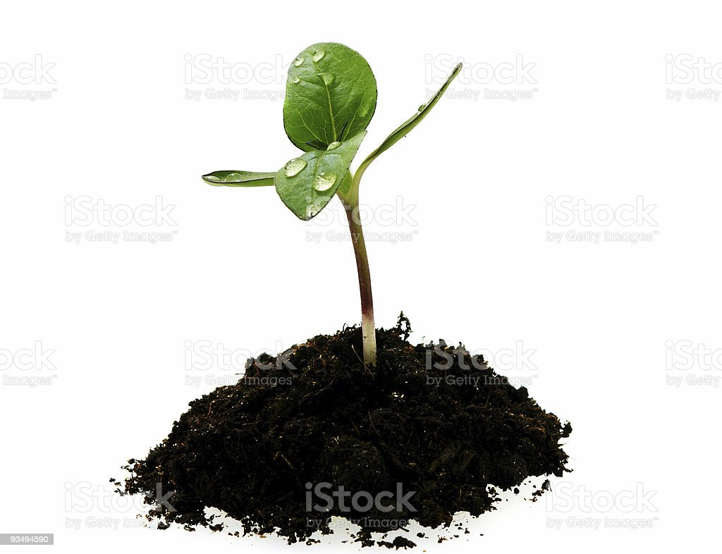 young sunflower sprout in the soil with droplets stock photo
