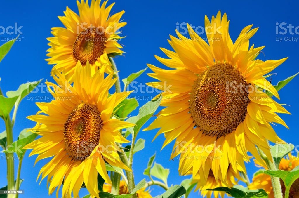 Young sunflowers bloom in field against a blue sky stock photo