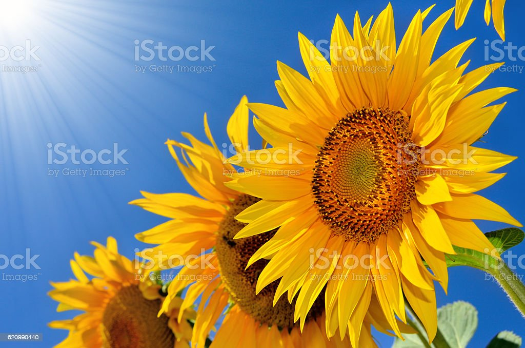 Young sunflowers blooming in the field against the blue sky. stock photo