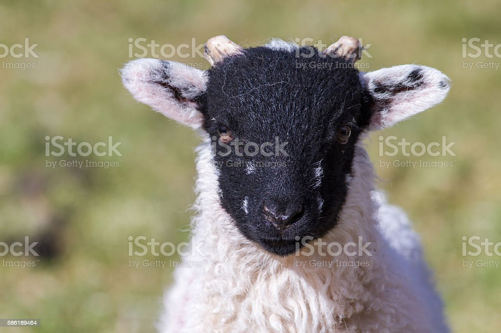 Young Swaledale lamb stock photo