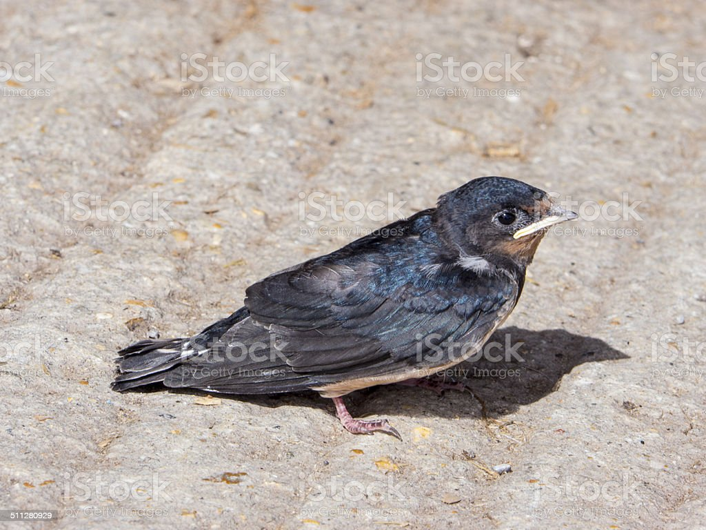 Young Swallow royalty-free stock photo