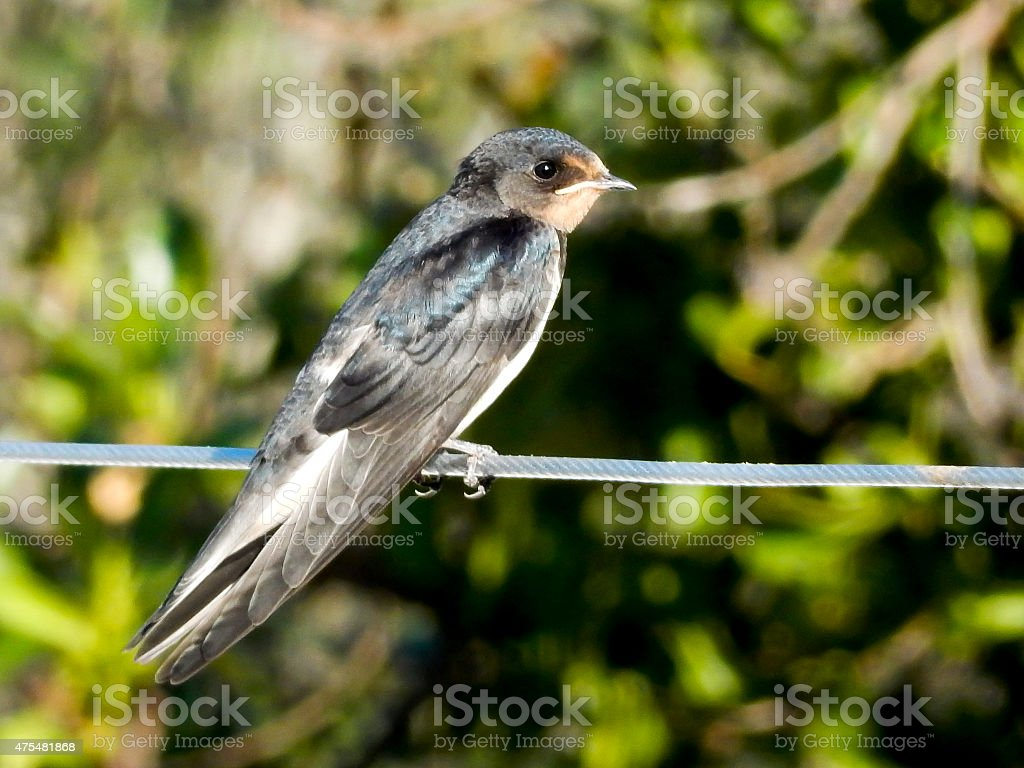 Young Swallow sitting on wire royalty-free stock photo