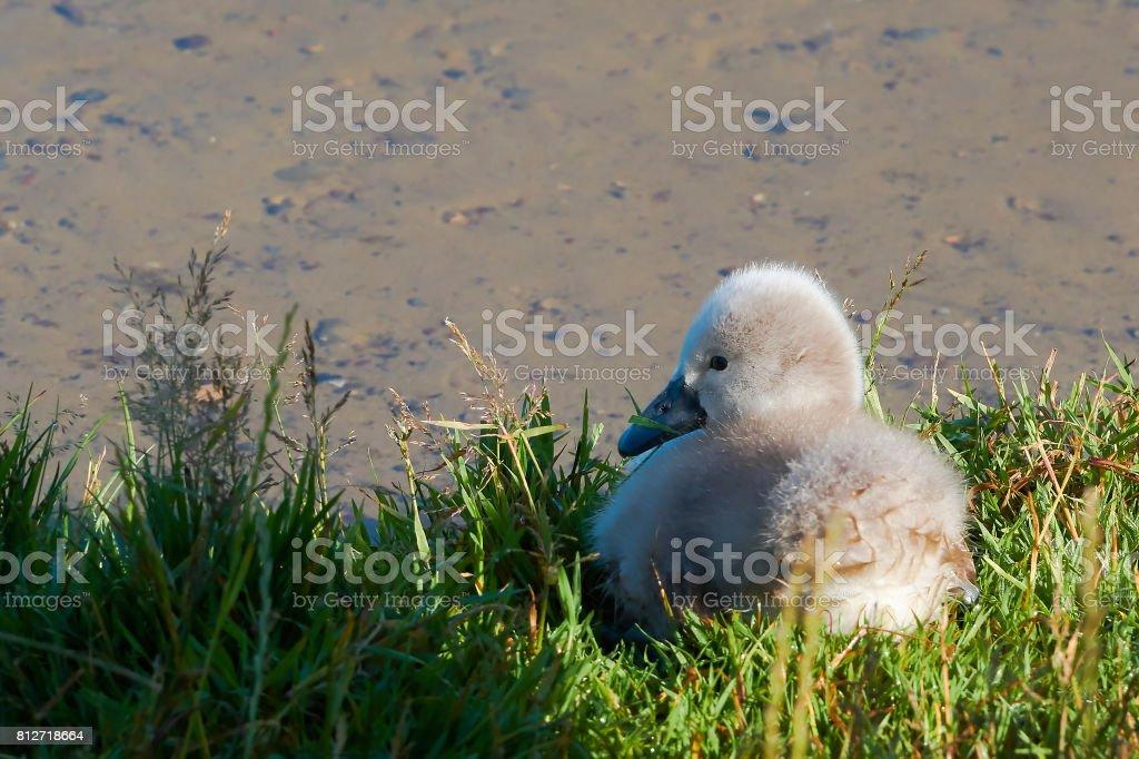 Young swan at a lake stock photo