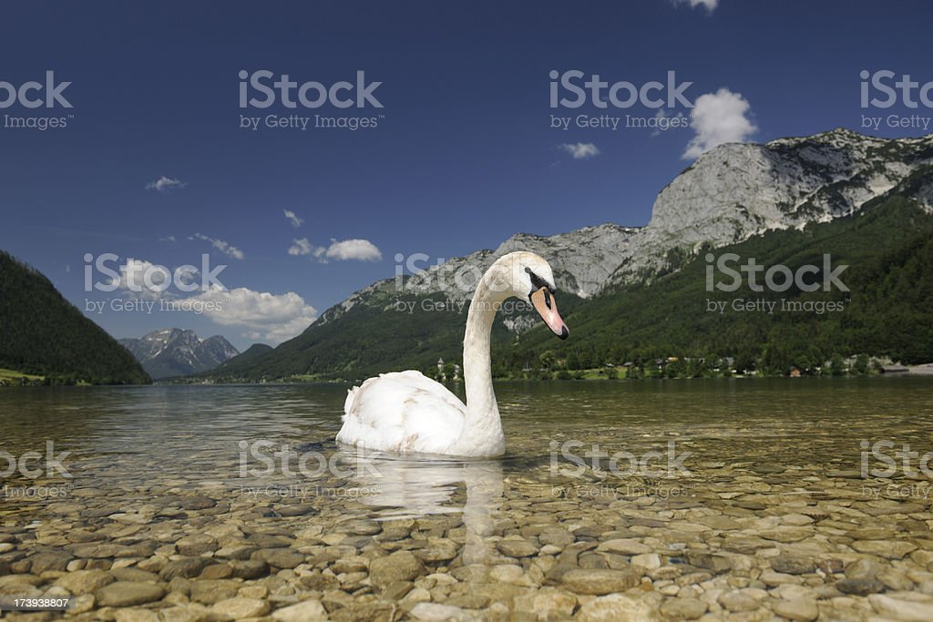 Young swan infront of a beautiful panorama (XXXL) stock photo