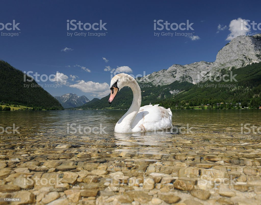 Young swan infront of a beautiful panorama stock photo