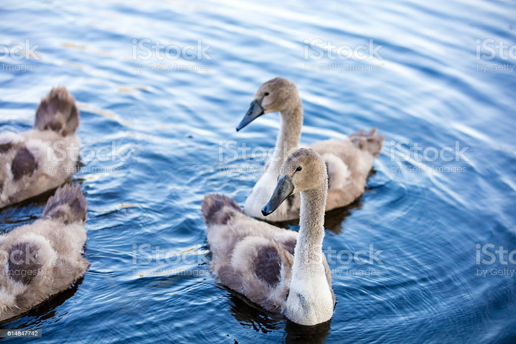 Young swans swimming in a pond. Ugly ducklings stock photo
