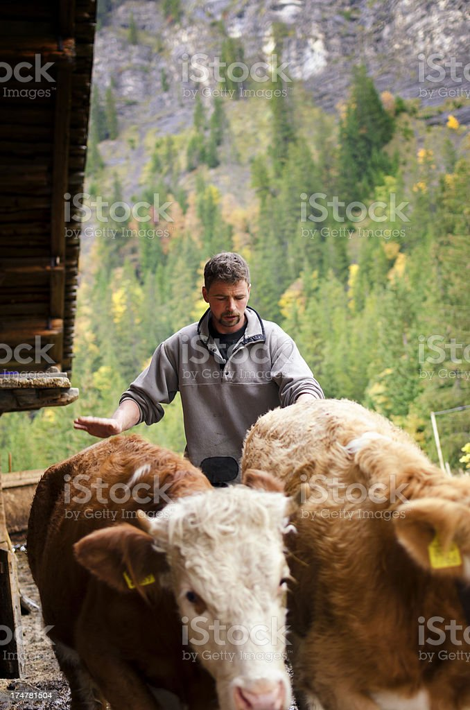 Young Swiss Alpine farmer man with cattle stock photo
