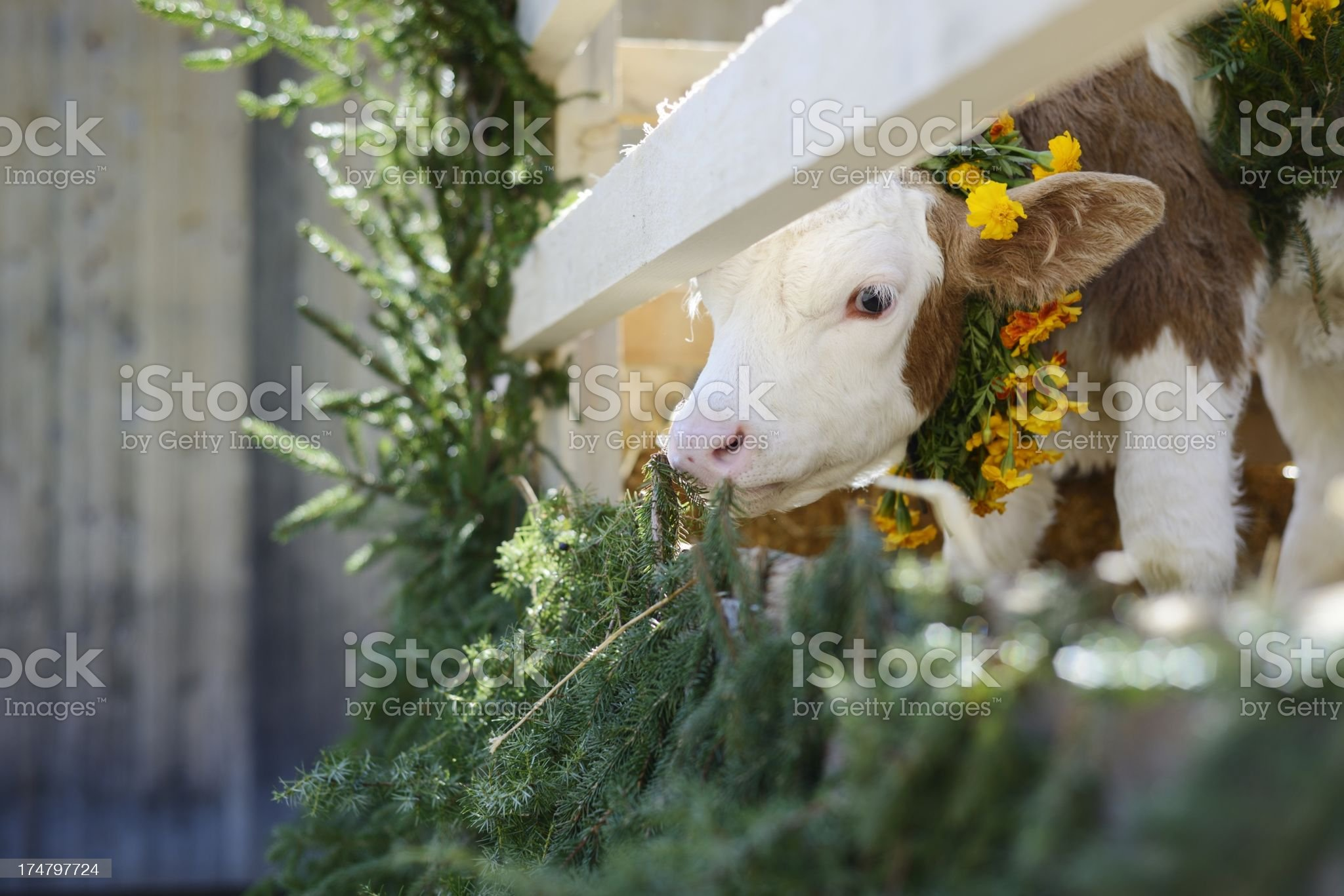 Young Swiss Calf Dressed with Flowers royalty-free stock photo