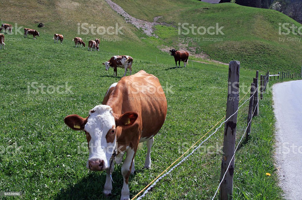 Young Swiss Cows royalty-free stock photo
