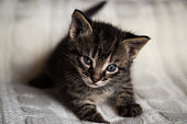 Young tabby tomcat kitten looks into camera