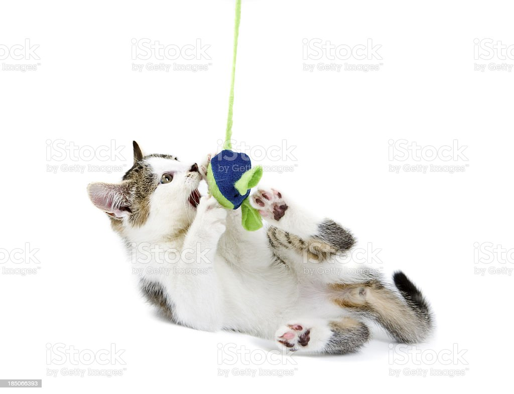 Young Tabby & White Kitten Playing royalty-free stock photo