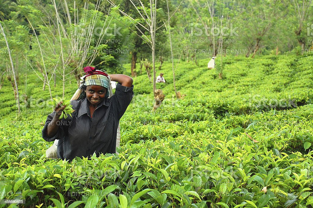 Young Tamil Tea Picker royalty-free stock photo
