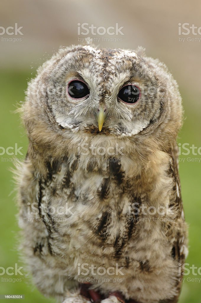 young  Tawny Owl royalty-free stock photo