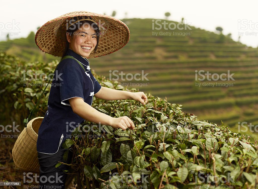 Young Tea picker stock photo