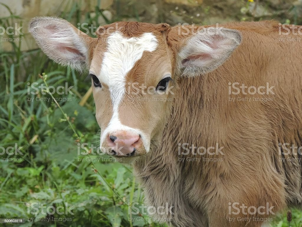 young, the little calf stock photo