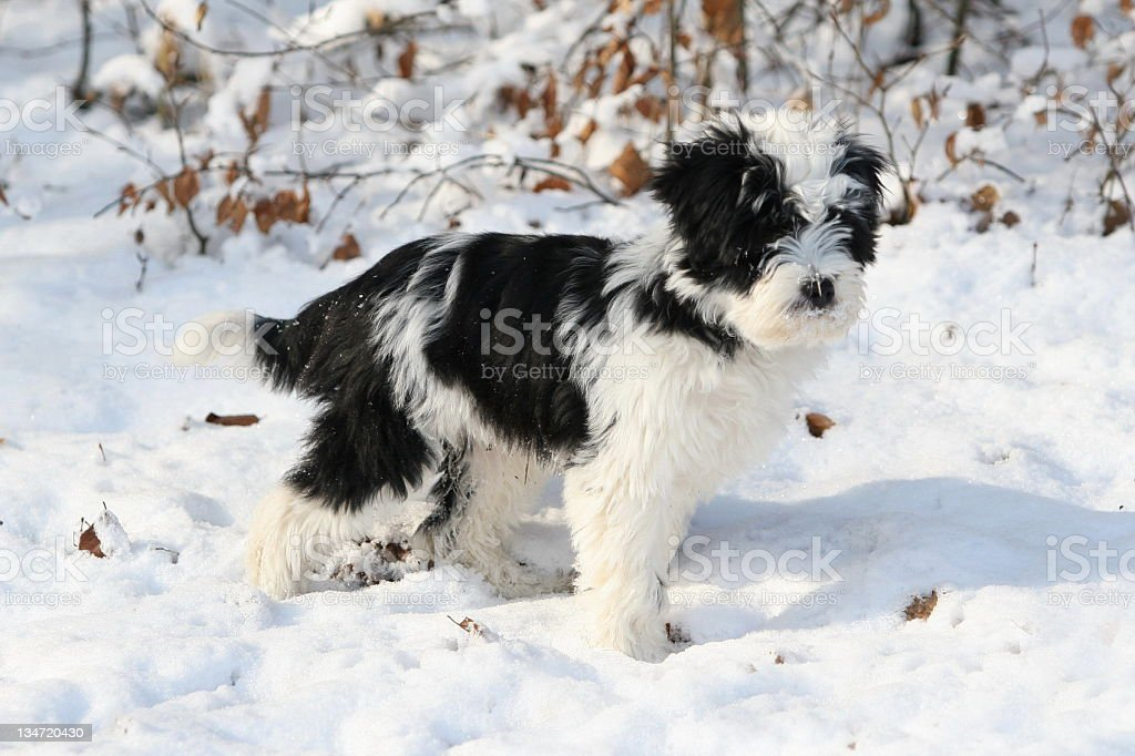Young Tibetan Terrier playing with snow stock photo