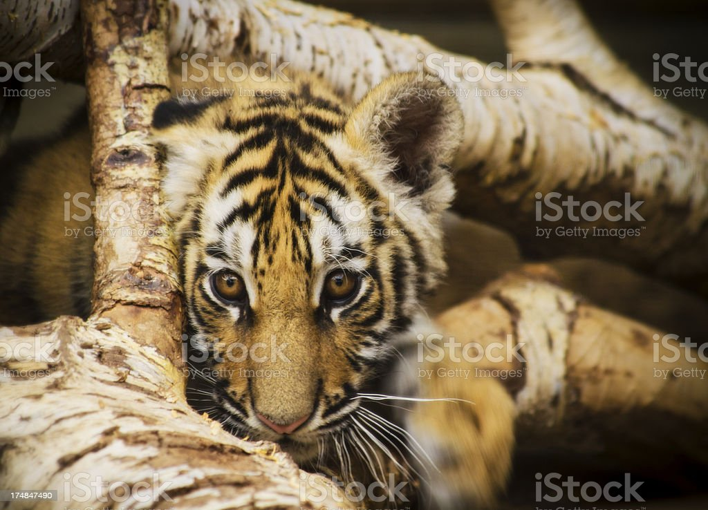 Young Tiger Cub Paying Among The Logs royalty-free stock photo
