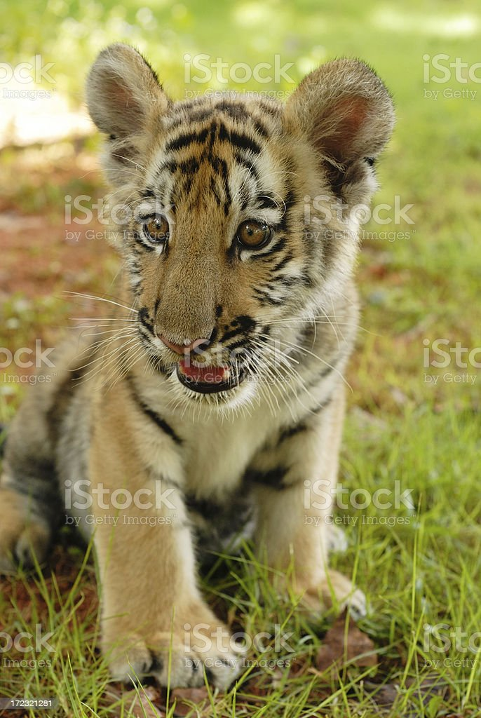Young tiger royalty-free stock photo
