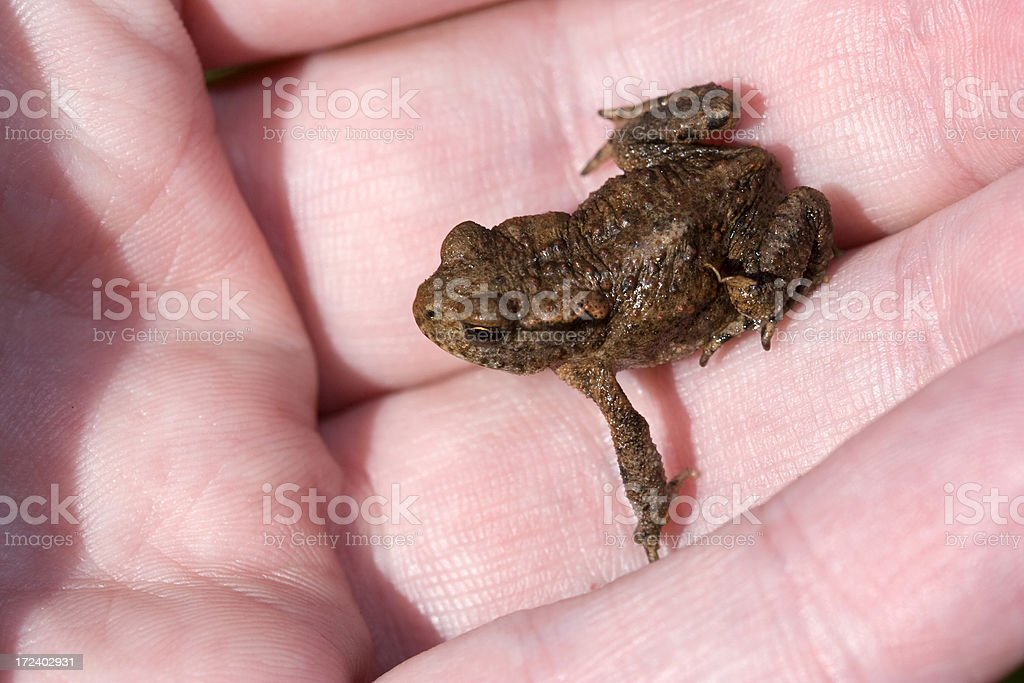 Young Toad In The Hand royalty-free stock photo