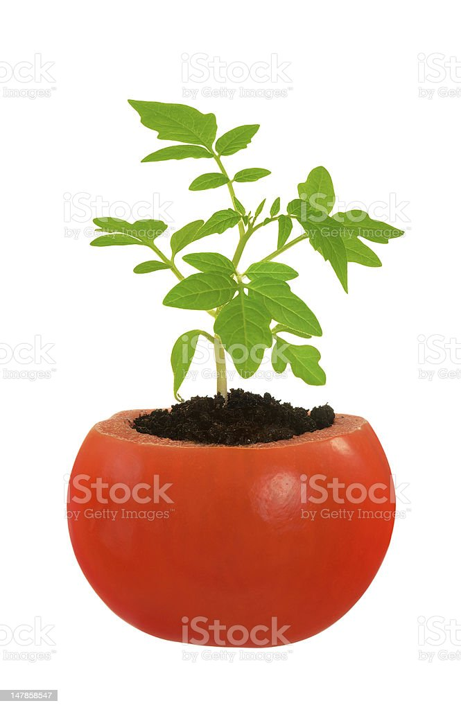 Young tomato plant growing, evolution concept, isolated on white royalty-free stock photo