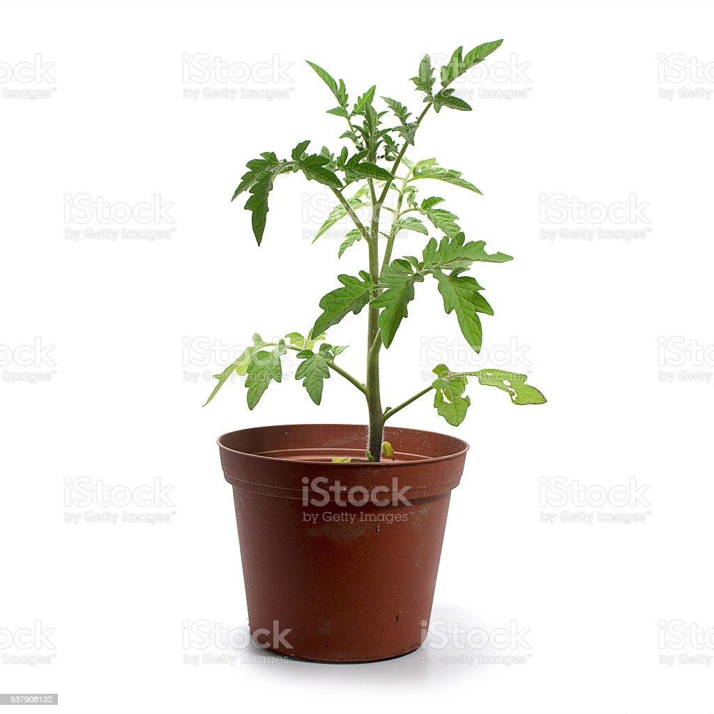 young tomato plant  in a pot isolated, white background stock photo