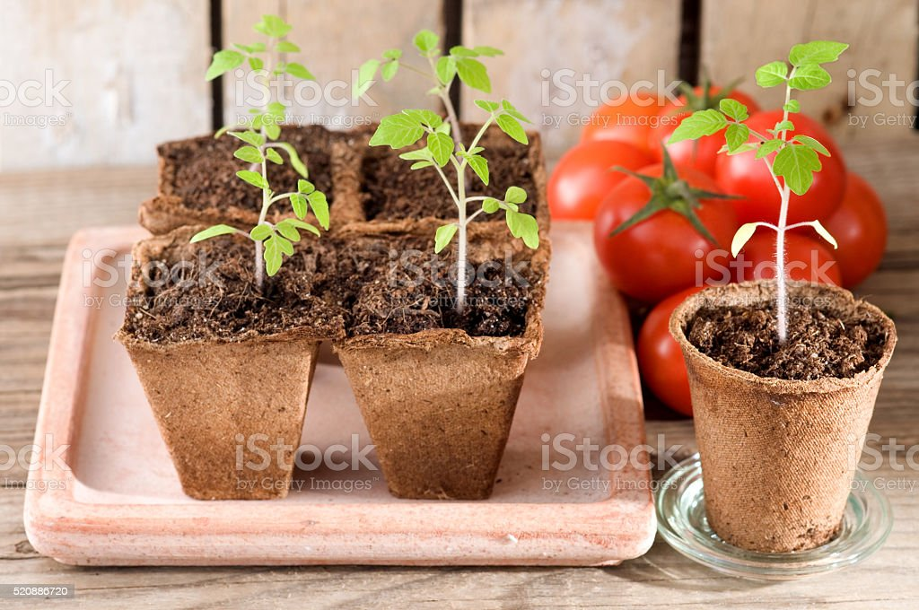 Young tomato plants and ripe tomatoes stock photo