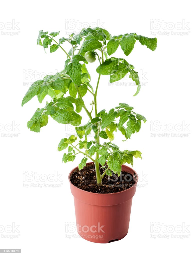 young tomato seedling isolated on white background stock photo