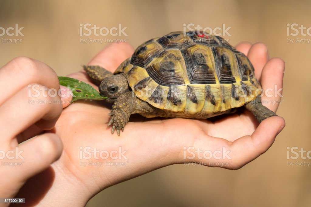 Young tortoise eating in hand stock photo