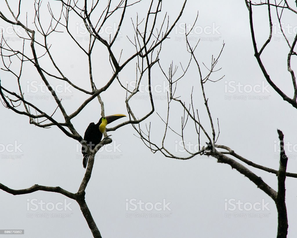 Young Toucan stock photo