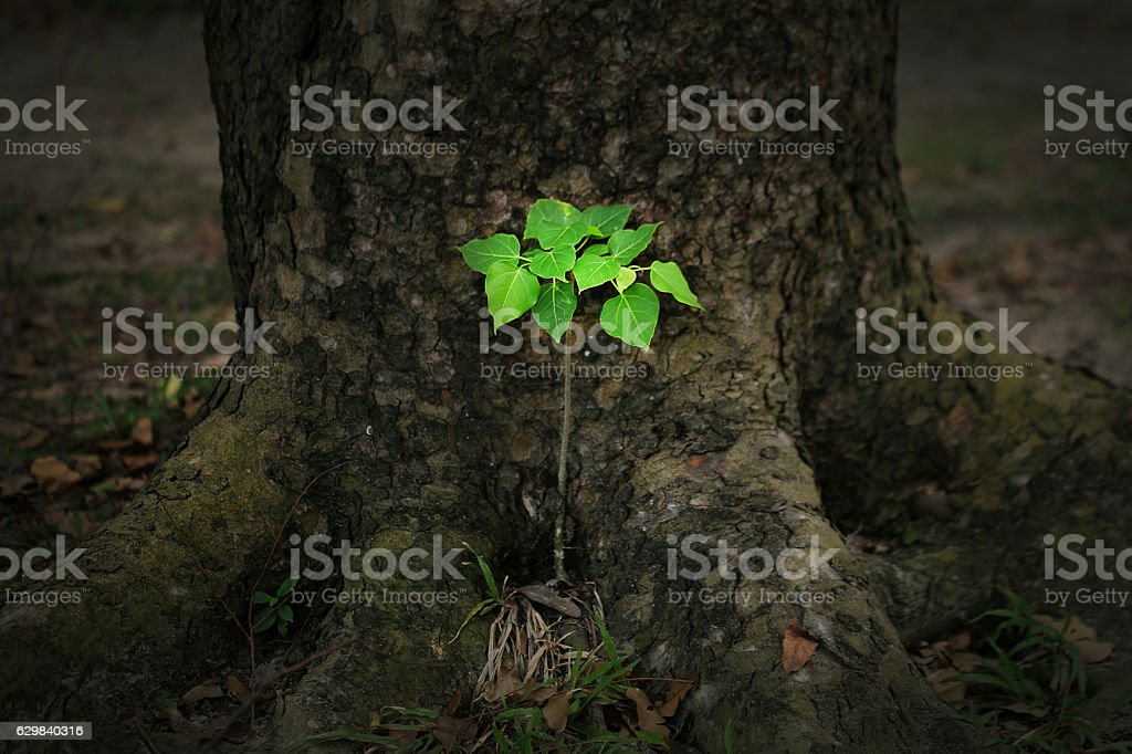 Young tree of Ficus rumphii stock photo