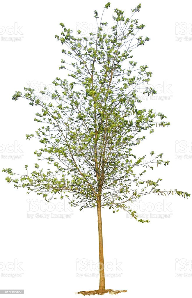Young Tree on White Background stock photo