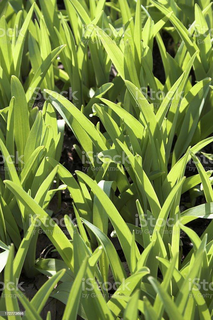 jeune tulipes avant léclosion dune fleur stock photo libre de