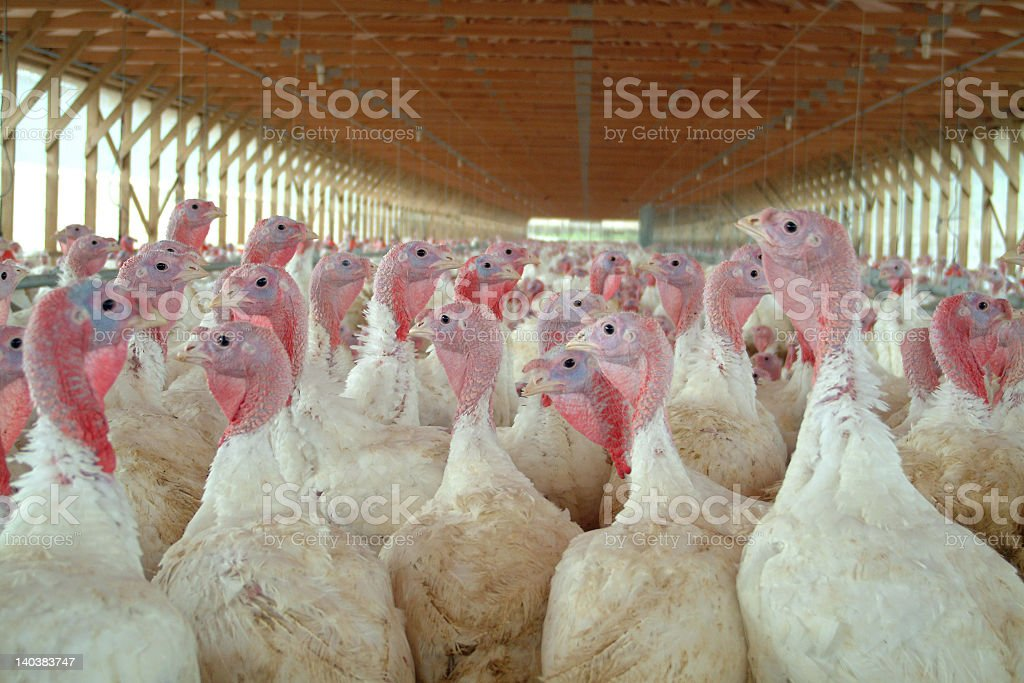 Young turkeys in factory farm environment stock photo