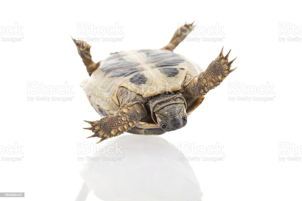Young turtle lying upside down royalty-free stock photo