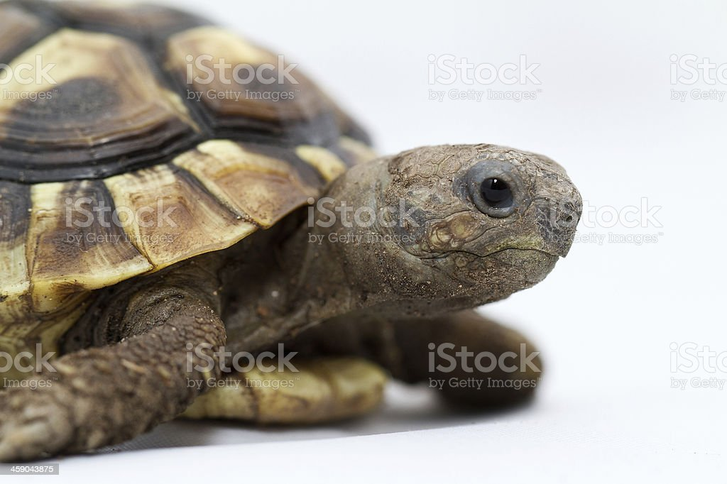 Young turtle on a white background stock photo