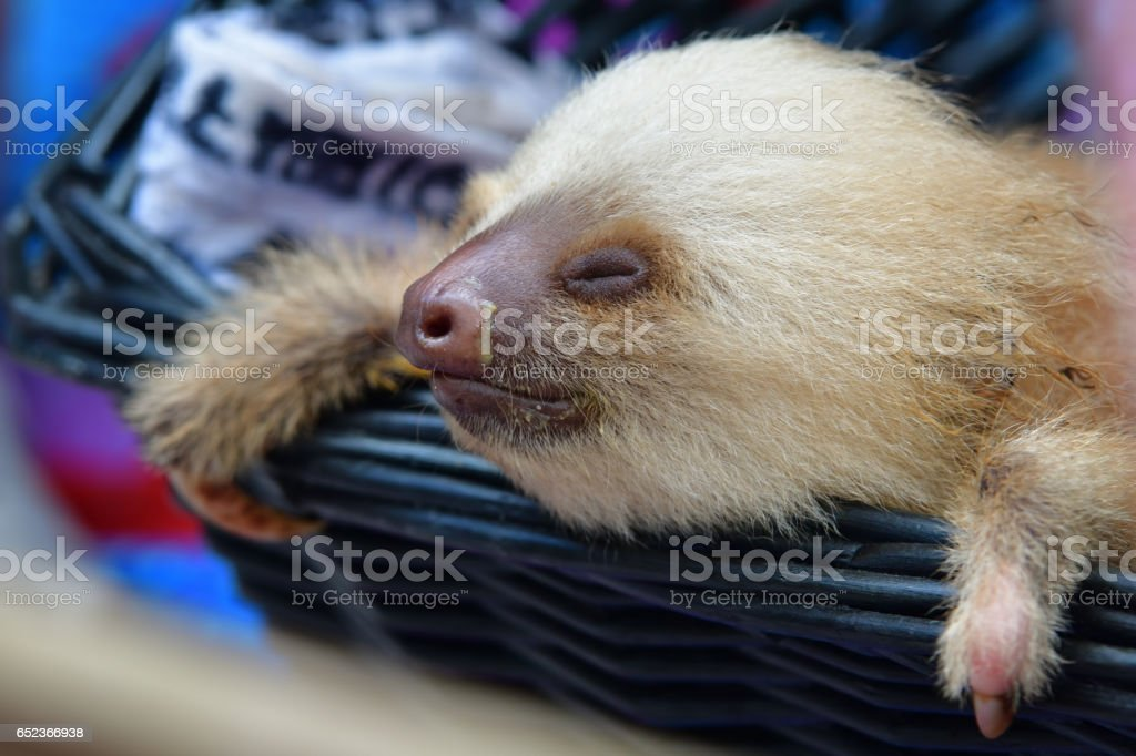 young two-toed sloth stock photo
