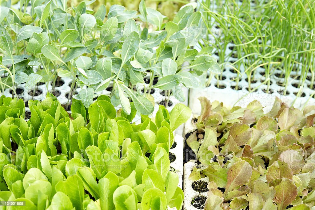 Young Vegetable Plants On Sale stock photo