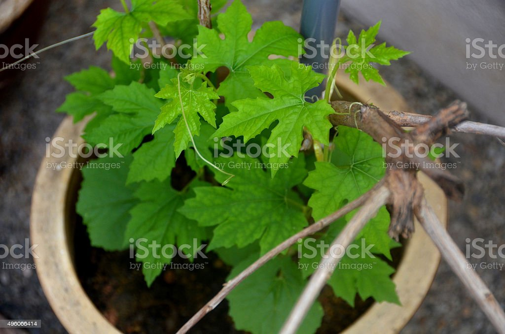 Young Vegetable Plants (Potted) stock photo