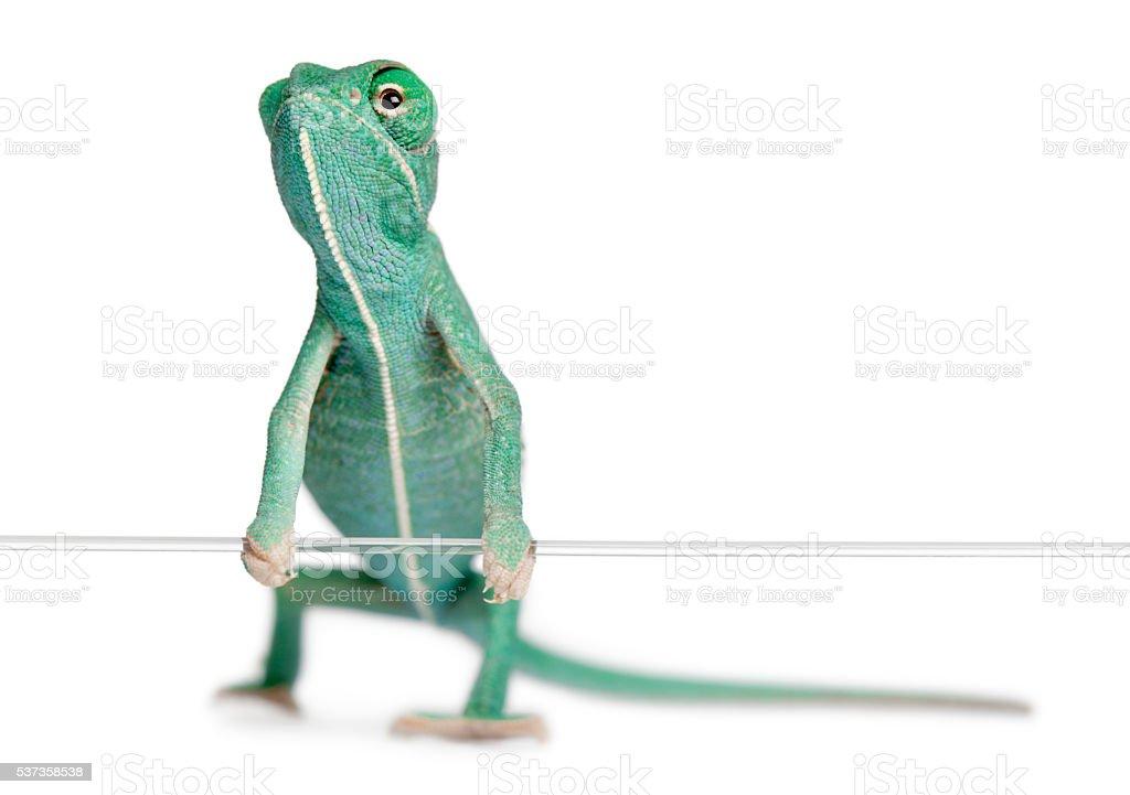Young veiled chameleon, Chamaeleo calyptratus, holding on a string stock photo