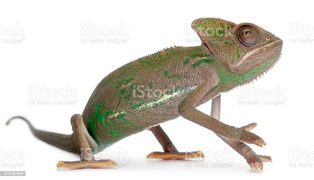 Young veiled chameleon, Chamaeleo calyptratus, in front of white background stock photo