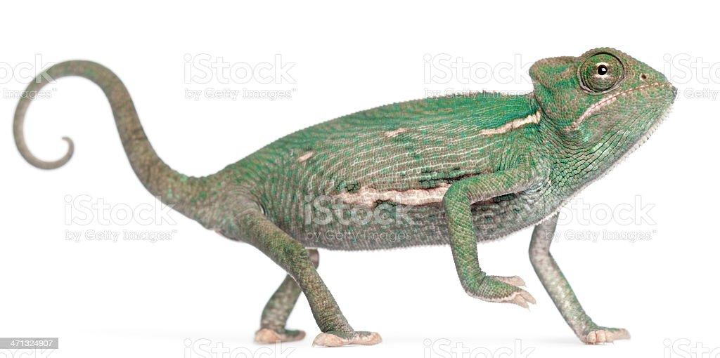 Young veiled chameleon, Chamaeleo calyptratus, white background. stock photo