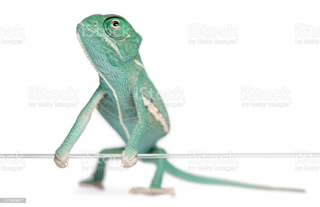 Young veiled chameleon, holding on a string, white background. stock photo