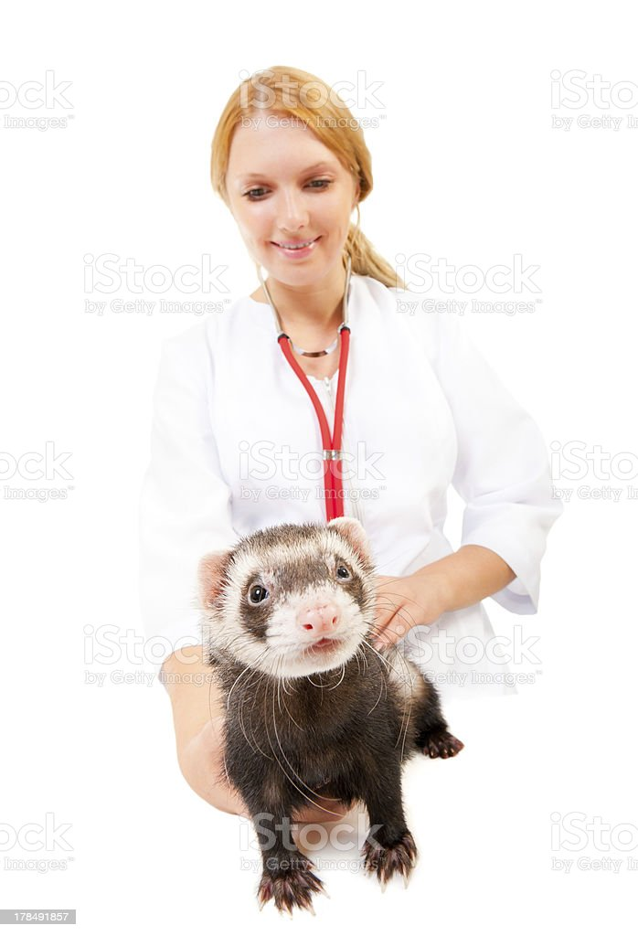 Young veterinarian examines a patient ferret royalty-free stock photo